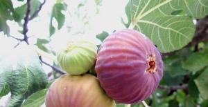 Lezzet deposu şifalı taze siyah incirin ihracat yolculuğu başladı